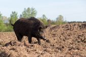 Wild Boar Searching Food On Field
