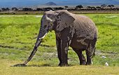 stock photo of kilimanjaro  - Kilimanjaro elephants in Amboseli National Park Kenya - JPG