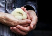 Baby chicken in hand