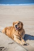 Beautiful Dog Golden Retriever Breed Enjoying At The Beach.