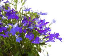 image of lobelia  - small dark blue lobelia flowers  isolated on white  - JPG