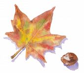 Watercolor Painting Showing An Autumn Leaf And A Conker.