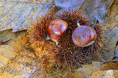 Sweet chestnuts on ground