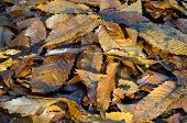 Brown Autumn leaves on ground