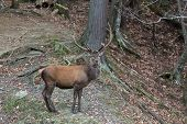 picture of bambi  - Large elk in its natural, green environment