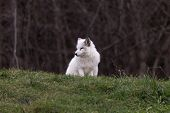 picture of arctic fox  - A lone Arctic Fox in a grassy plain.