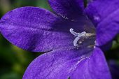 Close up detail of a bellflower (Campanula portenschlagiana).