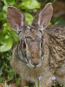 Eastern Cottontail Rabit - Texas