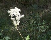 picture of meadowsweet  - Filipendula meadow - JPG