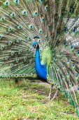 Close up Attractive Blue Peafowl Bird Spreading his Wide Beautiful Tail Feathers