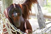 Orangutan looking chilled.