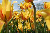 Lost in tulips