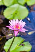 Pretty fresh pink lotus flower growing in a calm pond above the floating green lily pads