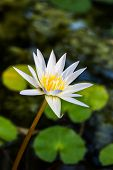 White Lotus Or White Water Lily In Pond.