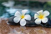 Plumeria Flowers on Row of Stones at Edge of Pool in Peaceful Spa Setting