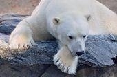 Polar Bear On A Ledge