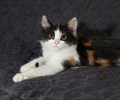 Tricolor Kitten Sitting On Black  Bedspread