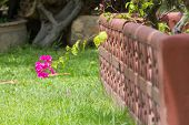 One bougainvillea flower out of wall