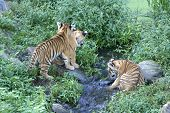 Young siberian tiger cubs