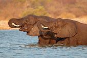 African elephants (Loxodonta africana) standing in water, Etosha National Park, Namibia