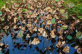 Dead lotus leaves in pond