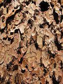 Ponderosa Pine Bark Close-up