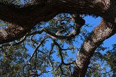 Long Lived Live Oak