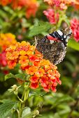 stock photo of lantana  - Red Admiral  - JPG