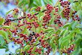 Black Cherry Fruit On The Tree