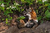 Grey Fox Vixen (urocyon Cinereoargenteus) And Kit Snuggle At Densite