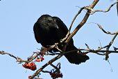 Black Crow Sitting On Mountain Ash Sunny Autumn