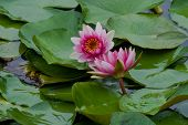 two red water lily