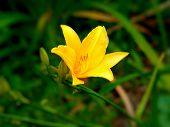Flower theme Iris