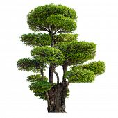 Twisted tree isolated on white background. Chinese garden bonsai plant