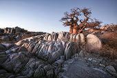 image of baobab  - Large Baobab on the rocks at Kubu Island - JPG