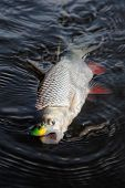 pic of chub  - Chub caught on a plastic bait in water - JPG