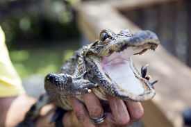 picture of gator  - Cute baby alligator - JPG