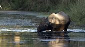 picture of greater  - Rhinoceros unicornis, Greater One-horned Rhinoceros bathing at Bardia national park, In Nepal