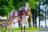 picture of harness  - white horse harnessed stands on the sunny street - JPG