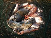 stock photo of fresh water fish  - Freshly caught various salt water fish in a net - JPG