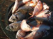 picture of fresh water fish  - Freshly caught various salt water fish in a net - JPG