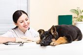 pic of vet  - German Shepherd puppy on the inspection at the vet - JPG