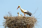 pic of stork  - White stork with young baby storks on the nest  - JPG