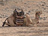 A saddled lying camel