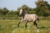 image of colt  - Beautiful gray andalusian colt  - JPG