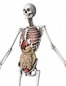 image of internal organs  - 3D render of a skeleton with internal organs - JPG