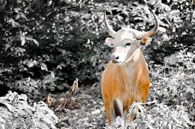 picture of species  - Banteng was in Red List of Threatened Species in Endangered species in nature Thailand and it looking something on the rock - JPG