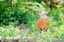 pic of species  - Banteng was in Red List of Threatened Species in Endangered species in nature Thailand and it looking something on the rock - JPG