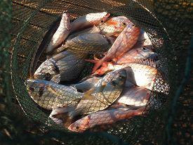 image of fresh water fish  - Freshly caught various salt water fish in a net - JPG