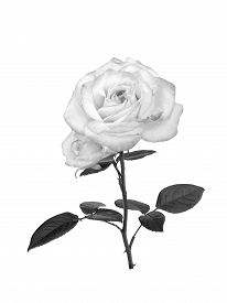 stock photo of uncolored  - Delicate uncolored rose isolated on white background - JPG